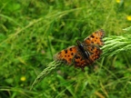 Polygonia c-album -- Le Robert-le-diable