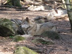 Canis lupus -- Loup d'Europe