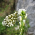Anthocharis cardamines.JPG