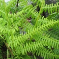 Dryopteris submontana