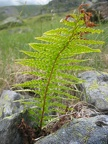 Polystichum lonchitis -- Polysitic lonchyte