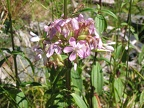 Saponaria officinalis -- Saponaire officinale
