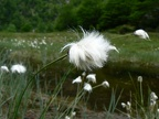 Eriophorum  -- Linaigrette