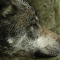 Loup gris d'Europe